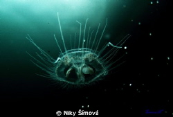 Freshwater Jellyfish by Niky &#237;mov&#225; 